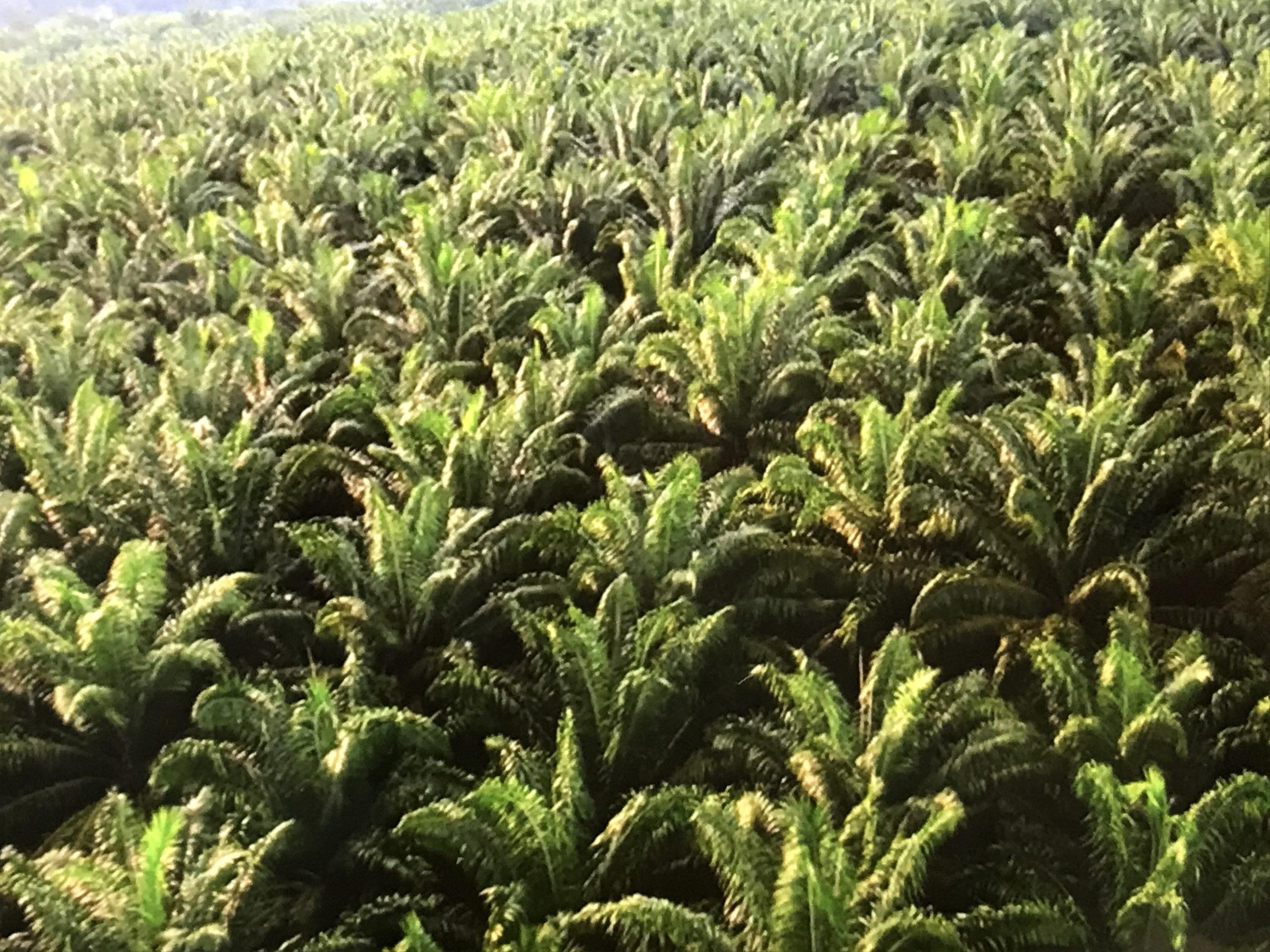 アブラヤシの森、パームオイル